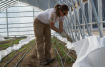 Ashley Hudson works in one of the large hoop houses at the High Desert Farming Initiative hopes to serve the greens at UNR this month. / Photo by Erin Meyering